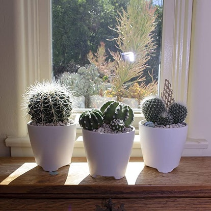 Altman Plants Assorted Live Cactus Collection (4-Pack)
