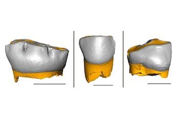 Neanderthal baby teeth 3D