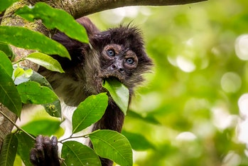 Spider monkey with blue eyes eating leaves