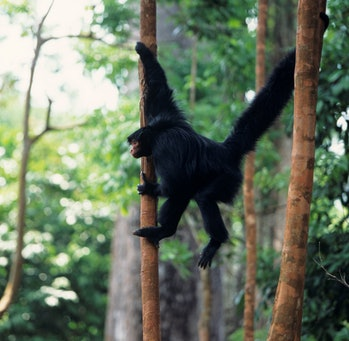 Guiana spider monkey hanging from multiple trees by limbs and tail