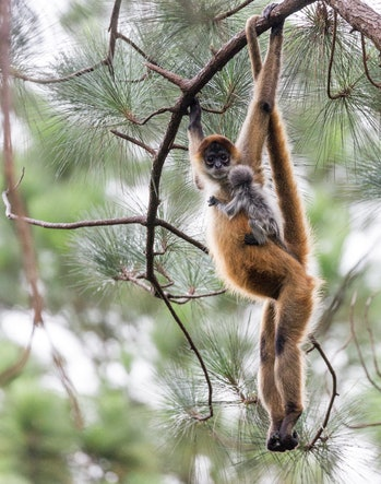 Spider monkey hanging from tree with baby