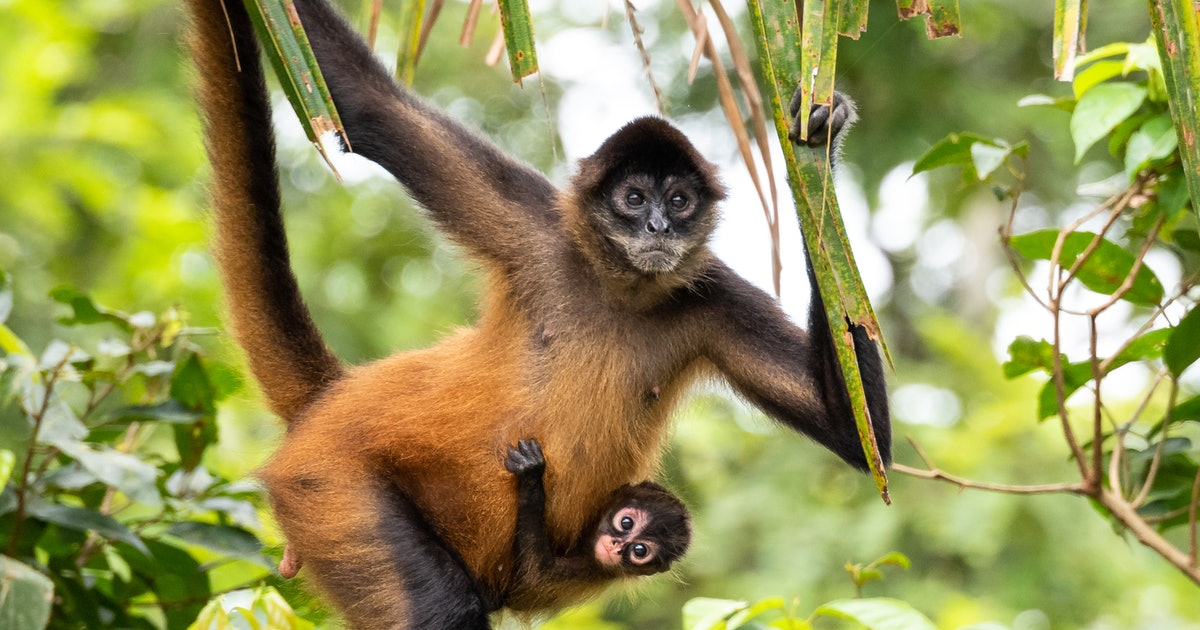 Spider Monkeys: 7 facts about this incredibly intelligent creature