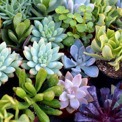 The Valley Garden Succulents (5-Pack)