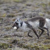 Tiny animals provide big Arctic data
