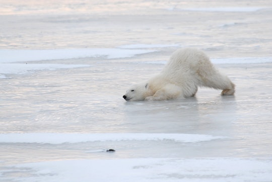 Three polar bears huddle together ahead of National Polar Bear Week.