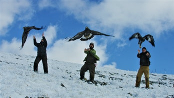 eagles being released arctic