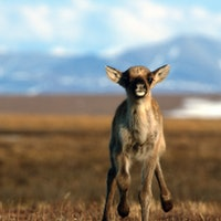 Massive animal database reveals troubling climate trends in Arctic