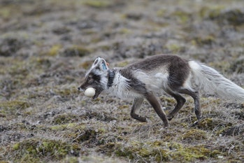 arctic fox track egg