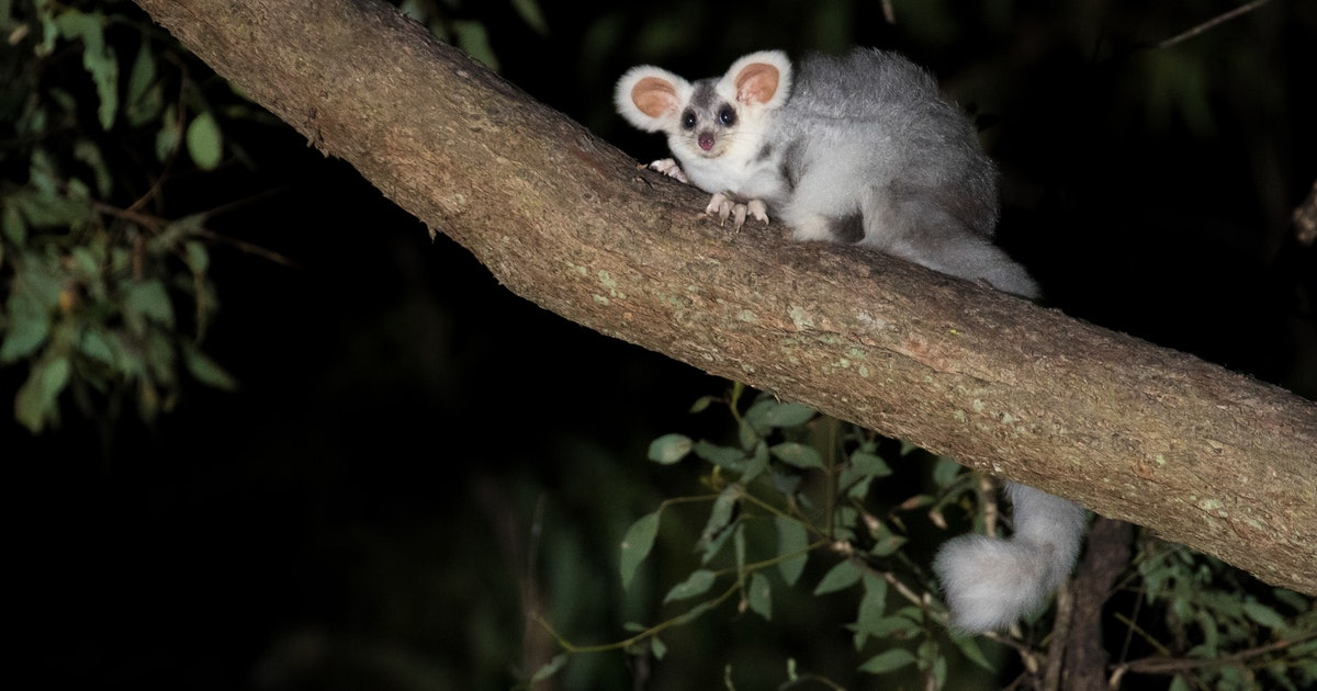 This new species of flying marsupials are so cute I want to punch a wall