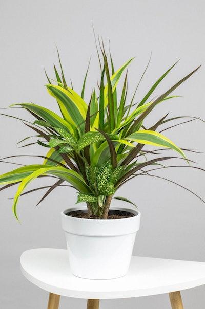 Dracaena Collection Black Leaf Plant