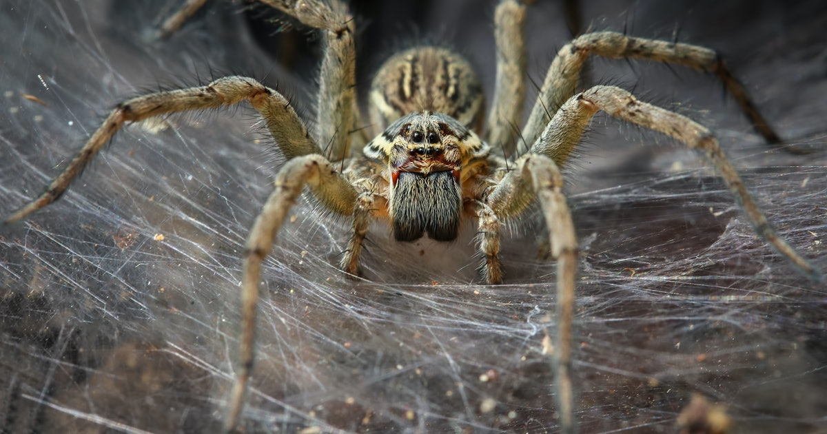 This Australian spider evolved to kill us — here's why