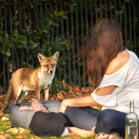 Study reveals one key way foxes are evolving to become more like pets