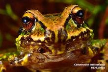 Mercedes' robber frog