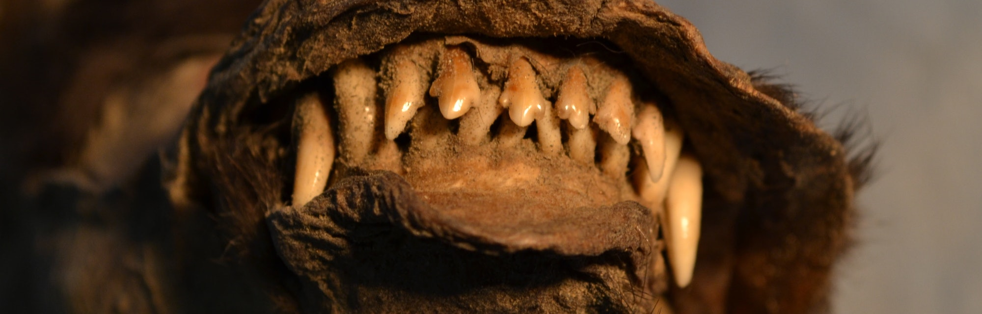mummified puppy teeth bared