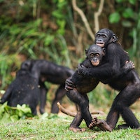 Study reveals a surprising similarity between bonobos and humans