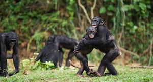 Bonobo juveniles hugging each other (Pan paniscus). Lola Ya Bonobo Santuary, Democratic Republic of Congo. Oct 2010.