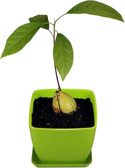 AvoSeed Avocado Tree Growing Kit