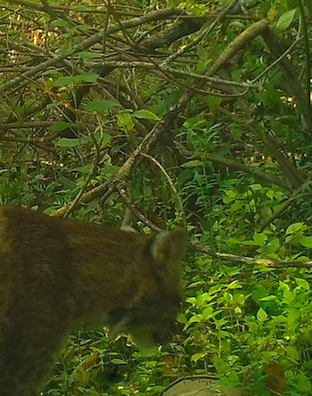 A bobcat wandering along an undisclosed location in the Bronx River.