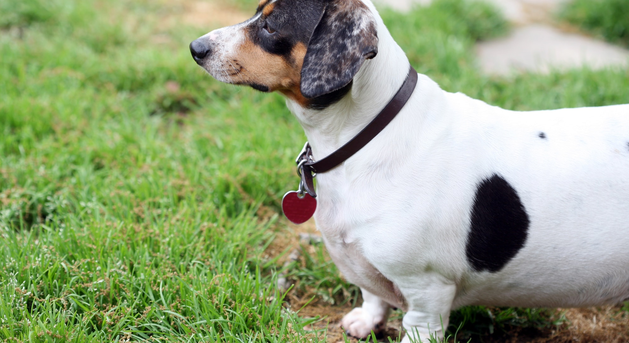 White and black dachshund standing at the grass