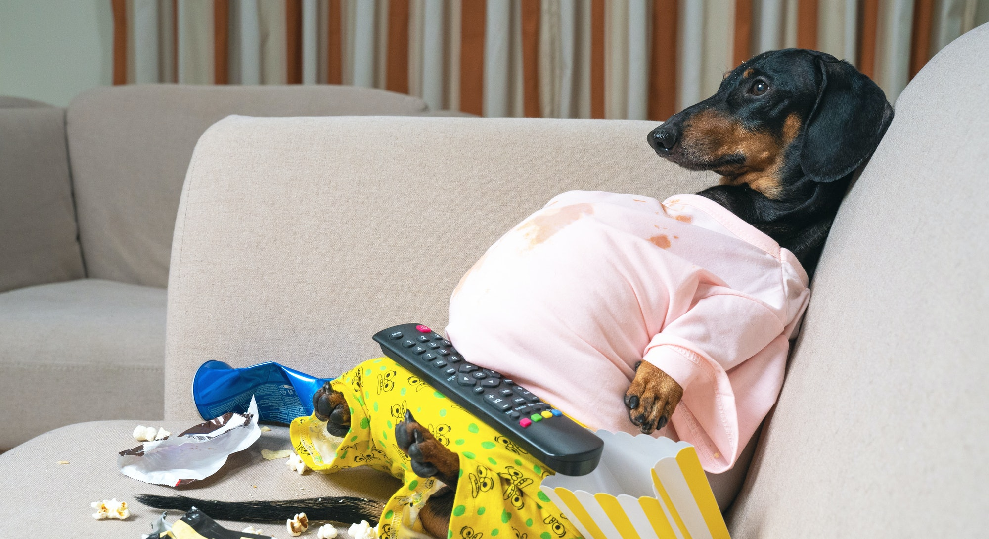 fat dog couch potato eating a popcorn, chocolate, fast food and watching television. Parody of a lazy person. quarantined and stay home
