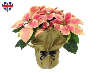 Deluxe British Gift Wrapped Poinsettia
