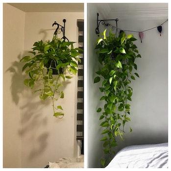 two photos of neon pothos plant
