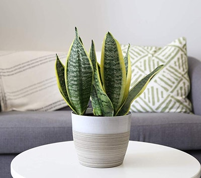 Costa Farms Snake Live Indoor Plant
