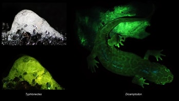 images of glowing salamander