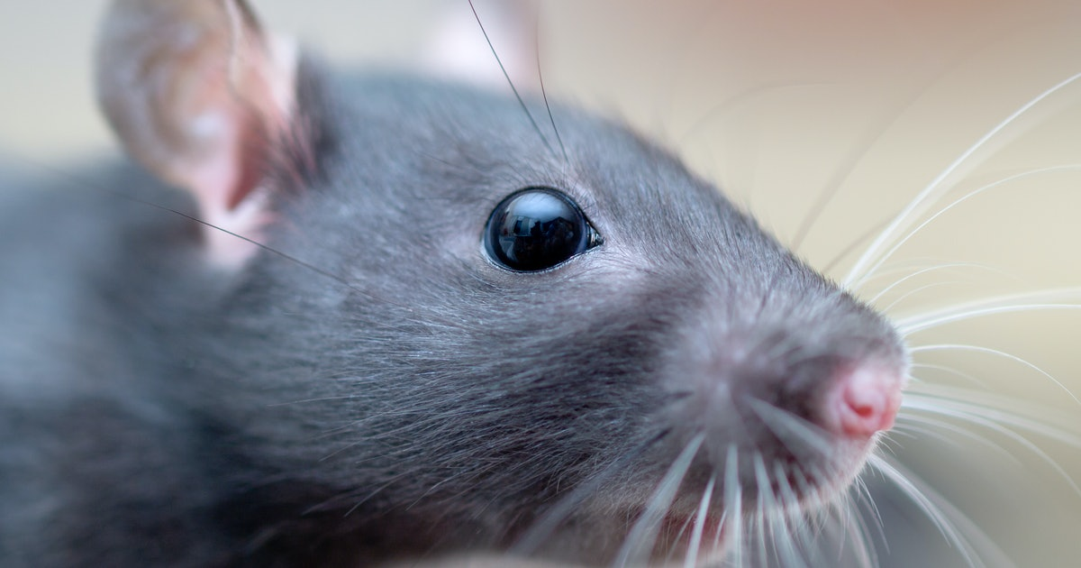 Scientists have found a historic math equation hidden the whiskers of a rat