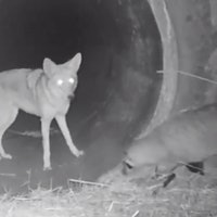 Coyote-badger duo: 28-year-old study explains the science behind viral video