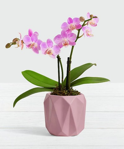 Pink Mini Orchid in Origami Planter