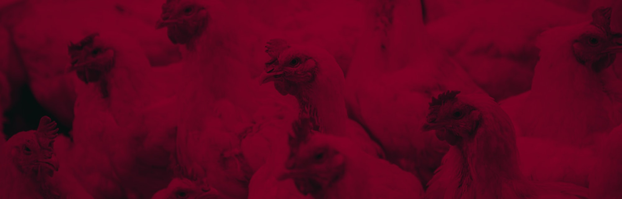 Close-Up Of Chicken In Farm