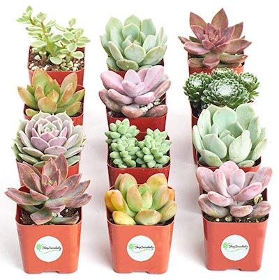 Shop Succulents Live Succulent Plants (12-Pack)