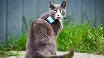 gray cat with GPS tracker on its collar