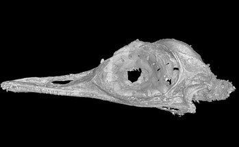 CT scan of Oculudentavis khaungraae skull.