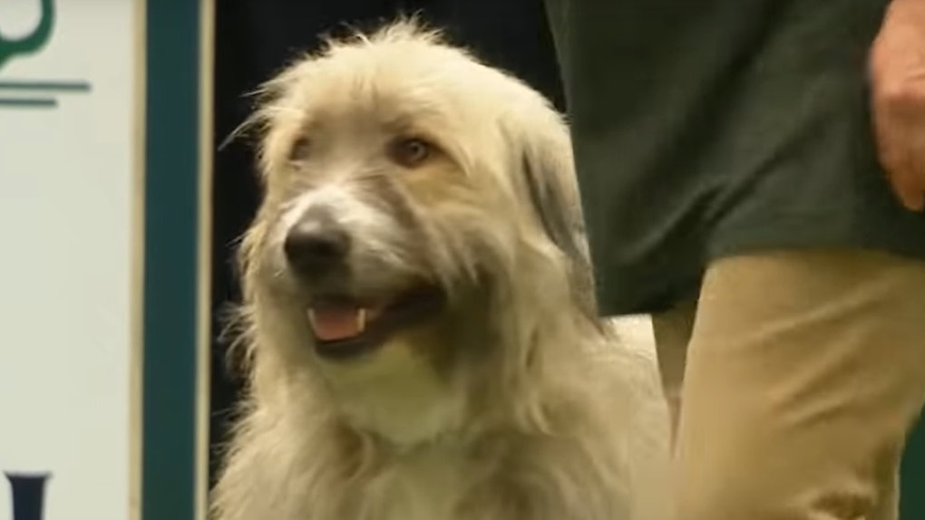 This video of Kratu the rescue dog at Crufts 2020 is the funniest thing ever.