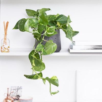 Rapunzel Devil's Ivy Plant