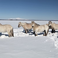 How Siberian horses became an unlikely climate hero in the Arctic