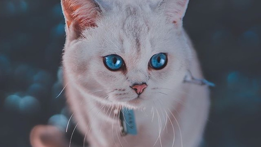 A white cat with blue eyes looks off into the distance outside.