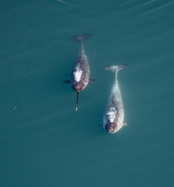 two narwhals in the water