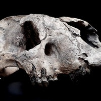 Saber-tooth tigers: New photos of unearthed skulls match science with surprise