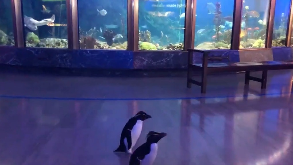 These videos of pengiums exploring the Shedd Aquarium will make your week.