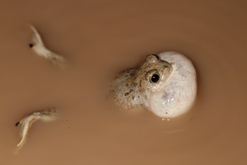 spadefoot toad in the water