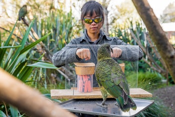 kea parrot being tested by human in probability experiment