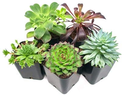 Succulent Plants (5-Pack)