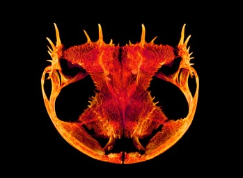 Anotheca spinosa tree frog skull image