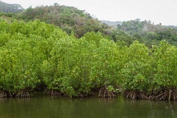 tanaman bakau or mangrove is a shrub or small tree that grows in coastal saline or brackish water.