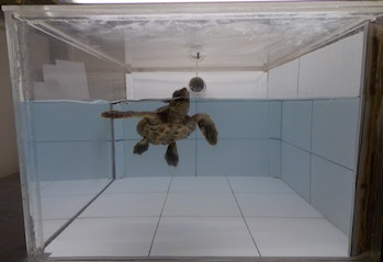 5-month-old sea turtle in a tank