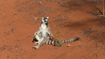 male lemur with clearly visible antebrachial glands on its wrists