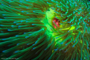 bright green sea anemone with pink mouth